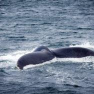 Walflosse - Neufundland